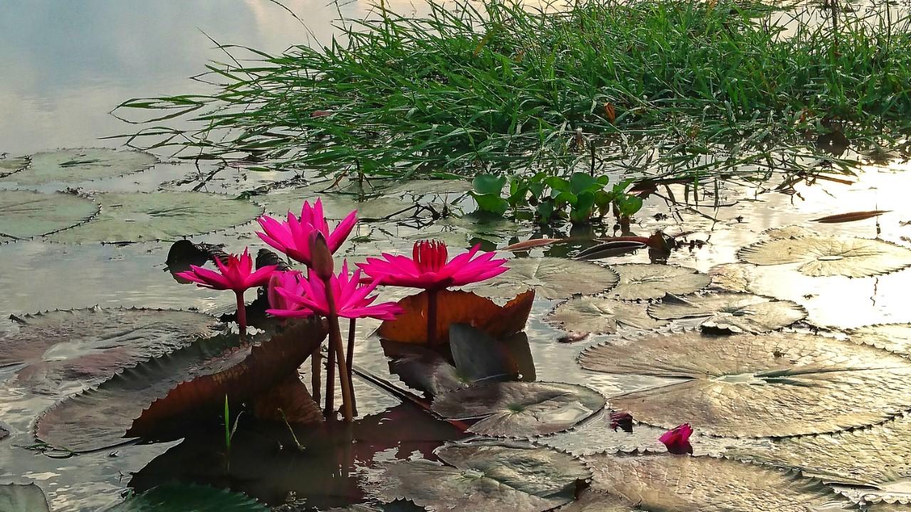 Lilie na jeziorze