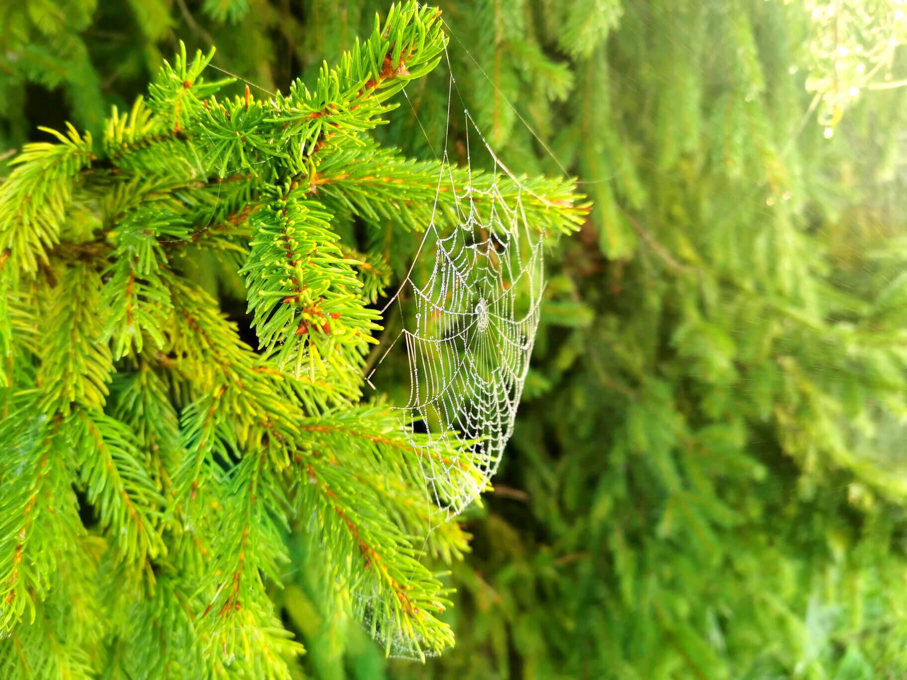 Sosna i pajęczyna