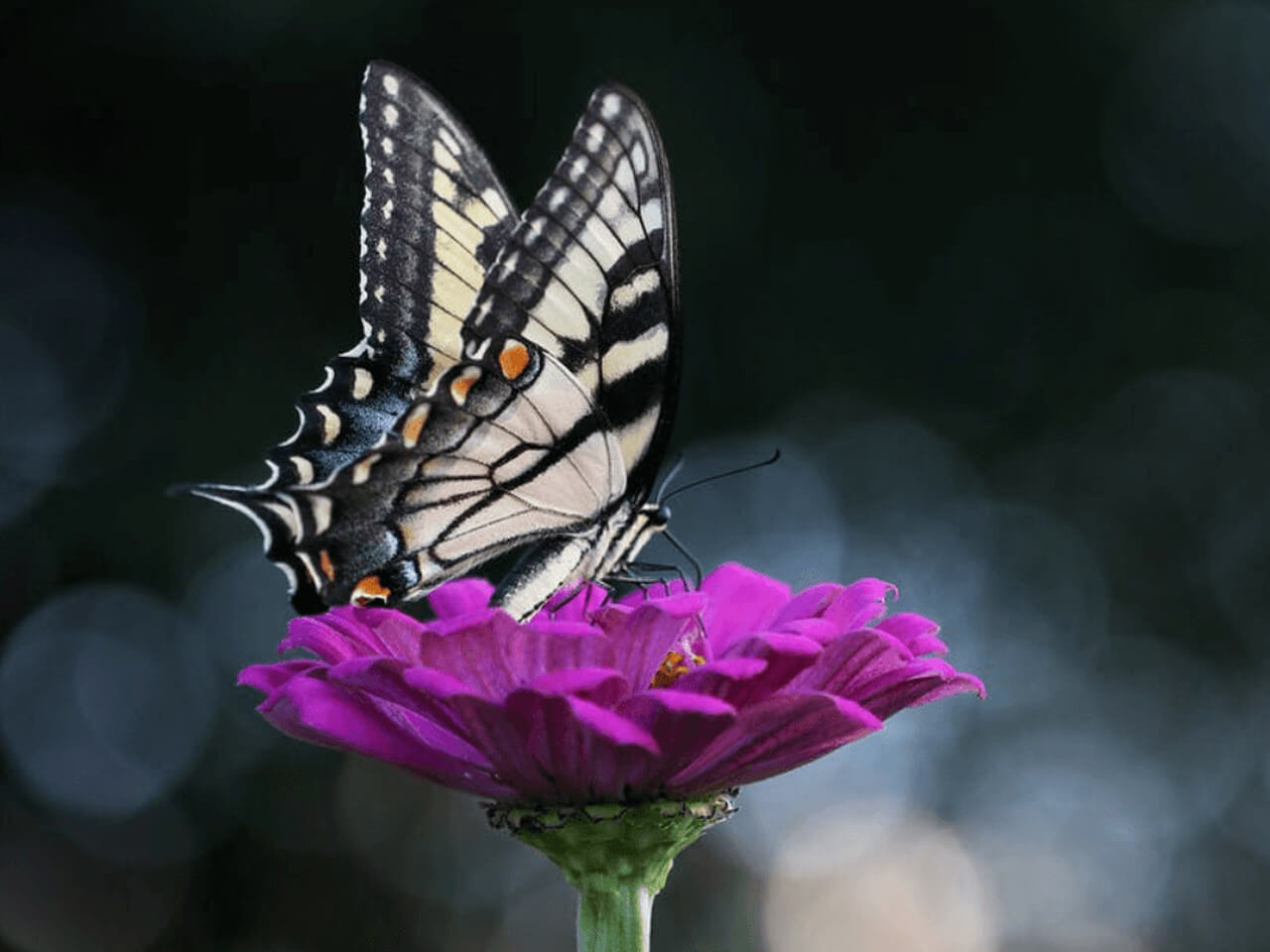 motyl na fioletowym kwiatku